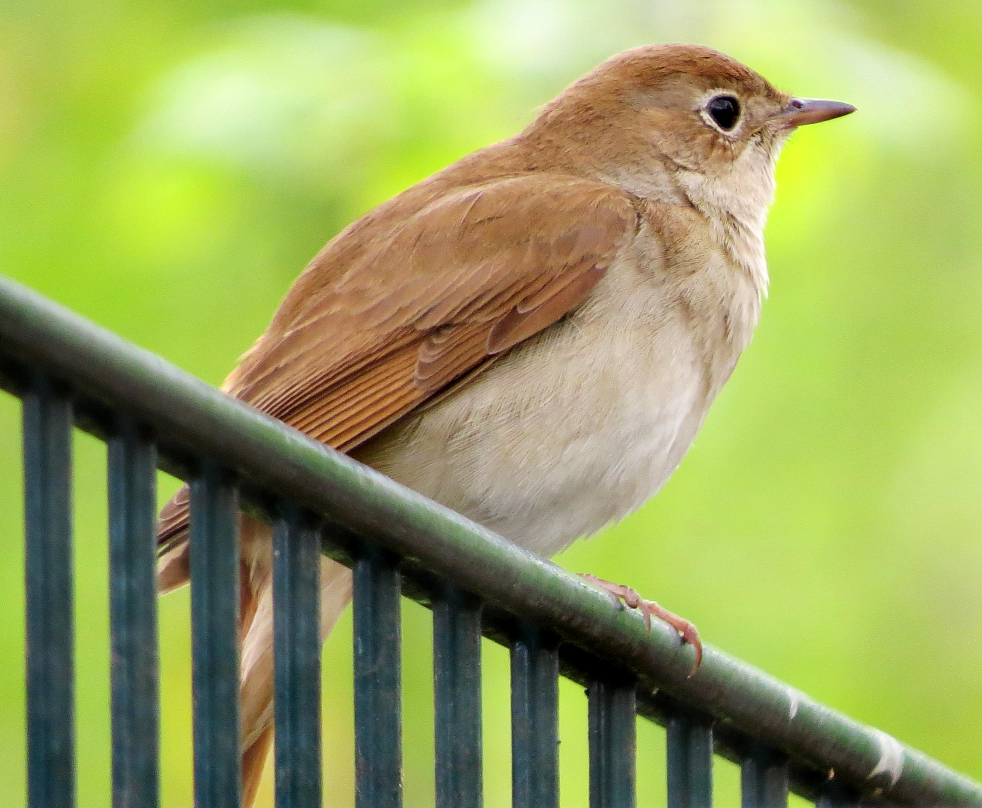 nightingale bird images wwwpixsharkcom images